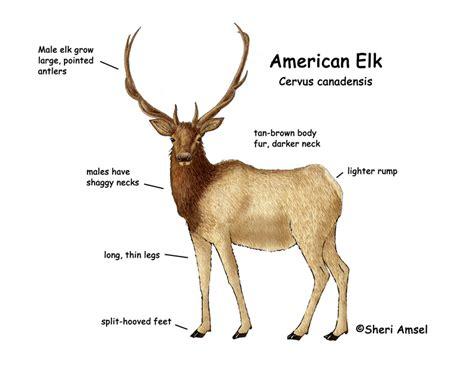 elk anatomy diagram the gallery for gt elk skeleton diagram