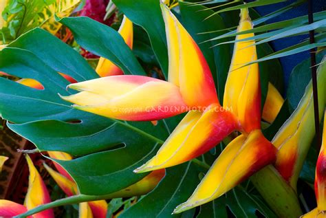 tropical plants with flowers heliconia tropical flower plant flower stock