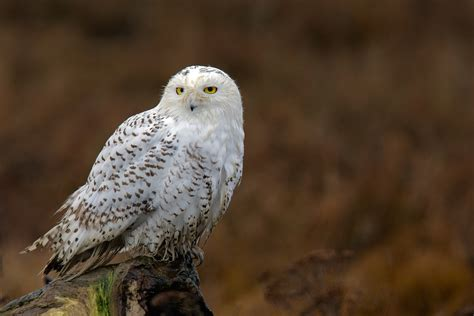 snowy owl irruption delta british columbia december 2011
