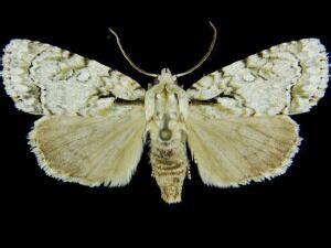 moth photographers group – acronicta lepetita – 9223