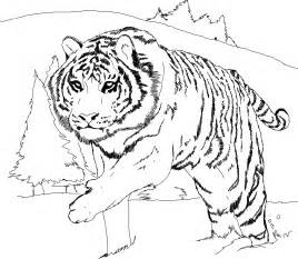 coloring pages of tigers free printable tiger coloring pages for