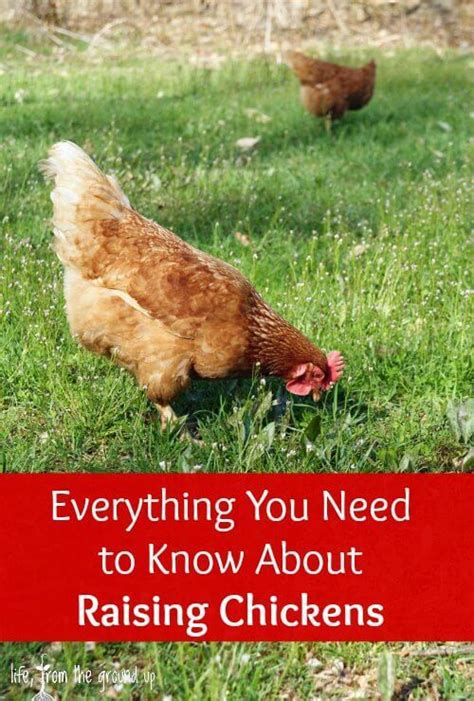 Backyard Chickens Tips 17 Best Ideas About Laying Hens On Hens
