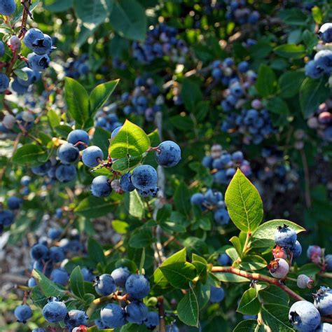Blueberry Garden by When To Plant A Blueberry Bush Garden Guides