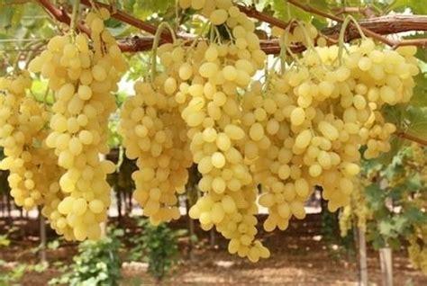 piantare uva da tavola uva apirene vite