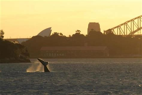 whale watching  sydney  time places   prices