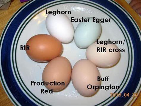 buff orpington egg color colored eggs leghorn easter egger buff orpington