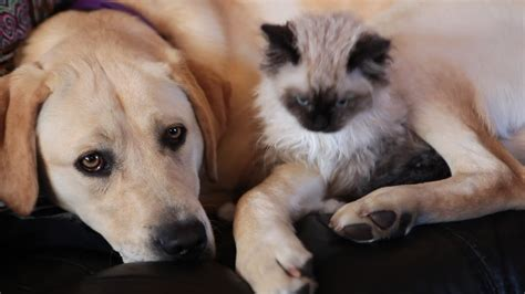 ragdoll rumble kitten and puppy preciously snuggle together