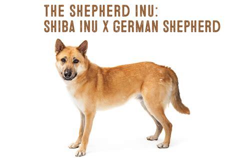 rottweiler shiba inu mix shiba inu chihuahua mix temperament breeds picture