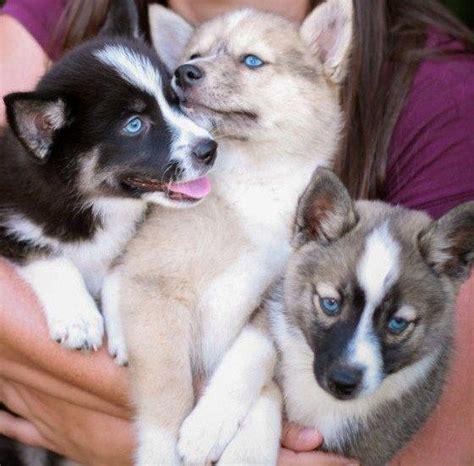pomeranian husky hypoallergenic 1000 ideas about pomsky puppies on pomsky puppies for sale pomsky