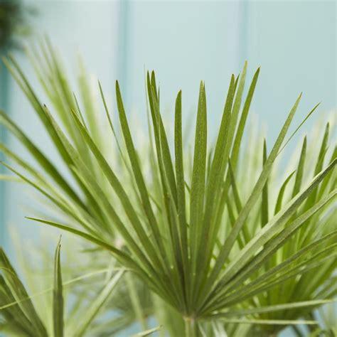 chamaerops humilis plants patch