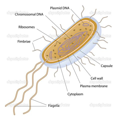diagram bacterial cell diagram of a bacterial cell 28 images coccus bacteria