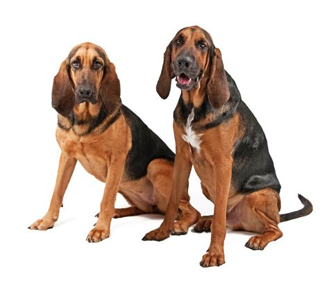 bloodhound colors bloodhound dogs pets and docile