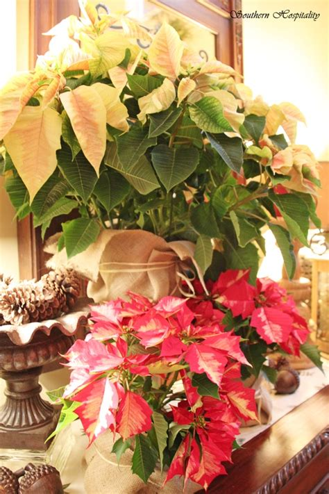 kick off christmas decorating with poinsettias southern