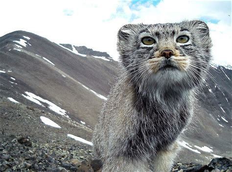 Pallas's cats to get their own 'palace' in Siberian mountains Fluffiest Kittens In The World