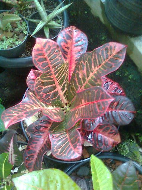 Tanaman Daun Puring 14 mengenal jenis tanaman puring croton codieaum variegatum