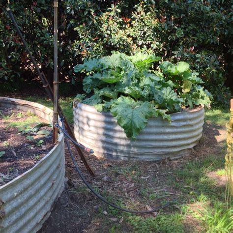 Corrugated Iron Vegetable Garden Growing Healthy Rhubarb We Use Corrugated Iron Water