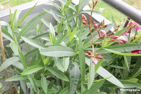 oleander plant   grow  care tips  pruning