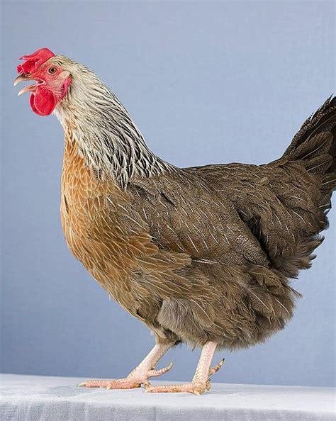 Silver Grey Dorking Hen Organic Gardener Magazine Backyard Chickens Australia