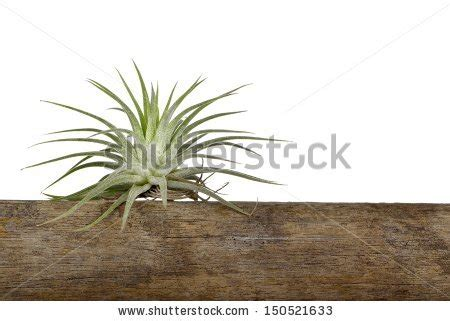 what is the scientific name for air air plant scientific name tillandsia on stock photo 150521633