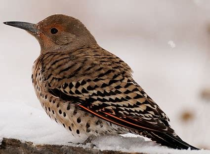 northern flicker, identification, all about birds