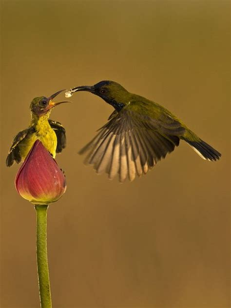 Hummingbird Burung Kolibri burung kolibri by sijanto nature winged creatures