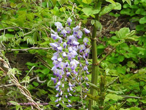 chinese wisteria wisteria sinensis wildflower chinese wisteria wisteria sinensis montour