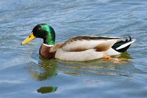 duck poop helps scientists sniff out avian flu 183 guardian liberty voice