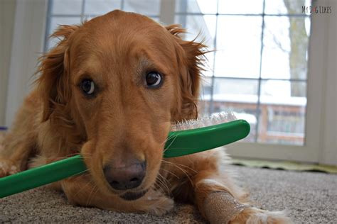 how often to brush dogs teeth brushing with blue bones dogdentalhealth