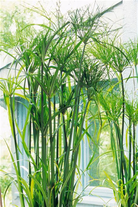Gro E Pflanzen Kaufen 83 by Zimmerpflanzen Gro 223 E Bl 228 Tter Gro E Zimmerpflanzen