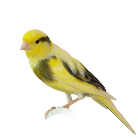 loveyourparrot com canaries