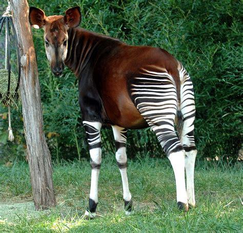 okapi facts habitat diet predators adaptations pictures