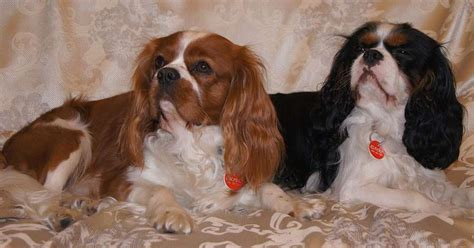 Spaniel Shedding by The Cavalier King Charles Spaniel Breed