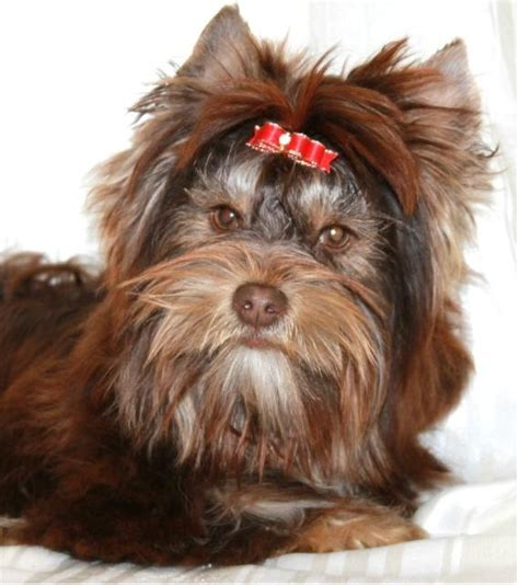 chocolate yorkies alaska 1000 images about biewer and biro terriers on