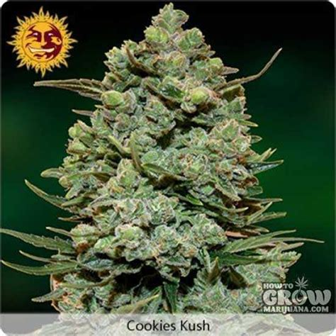 barneys farm cookie kush feminized seeds