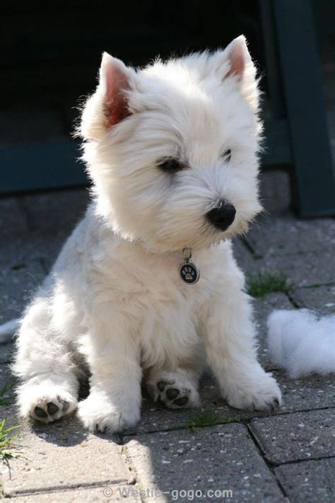 westie puppies 25 best ideas about white terrier on westie west terrier and highlanders
