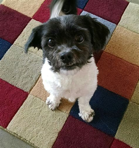 scruffy shih tzu adopt scruffy a white with gray or silver shih tzu mixed in seattle grey
