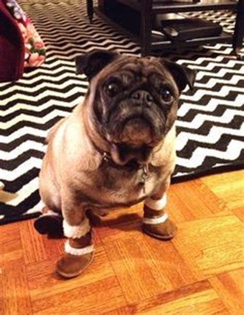 pug boots for dogs 1000 images about pugs in socks and shoes on pug sock and pug dogs