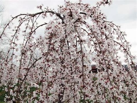 cherry tree zone 4 a guide to northeastern gardening flowering trees pretty in pink and white