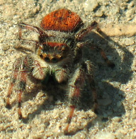 florida s fabulous spiders ebook regal jumping spider in tent what s that bug