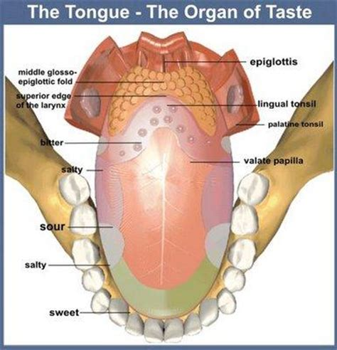labelled diagram of the tongue labeled tongue diagram