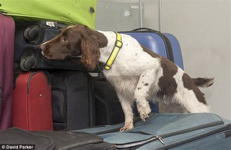 sniffer dogs springer spaniel sniffer springer spaniel advice breeds picture