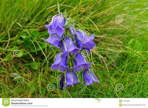 genziana fiore genziana salice fiore immagine stock immagine di