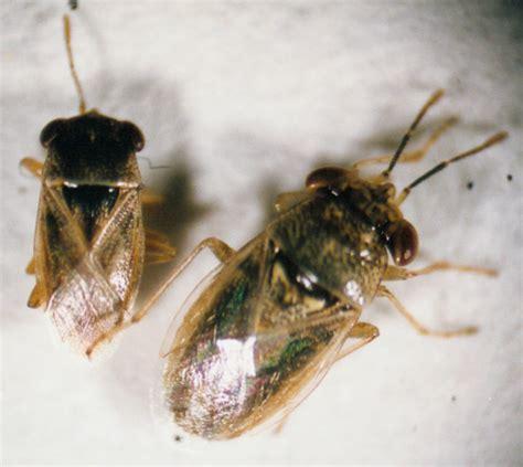 bug acis geocotop