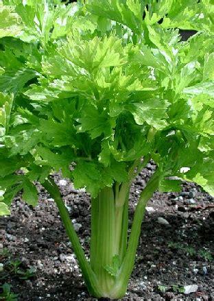 Bibit Sayuran Seledri bibit seledri utah