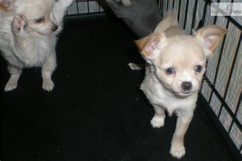 chihuahua puppies for sale nj contact me