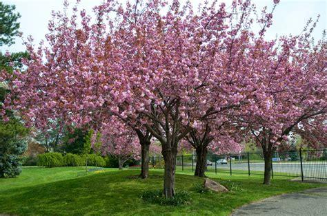 cherry tree growth rate trees planet prunus serrulata japanese cherry cherry blossom