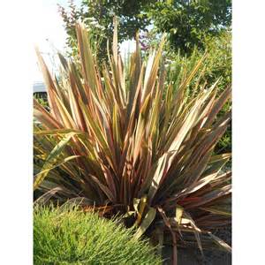 Plants In Water Vase Phormium Hybrids Maori Queen Boething Treeland Farms