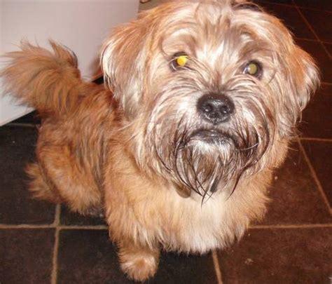 yorkie shih tzu cross ziggy 8 month shih tzu cross terrier for adoption