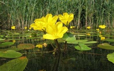 imagenes de flores acuaticas image gallery plantas acuaticas