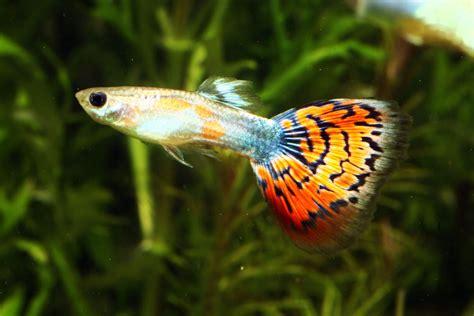 le guppy ou poecilia reticulata poisson deau douce poisson star des aquariums animogen